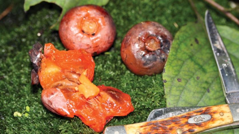 Ripe American persimmons