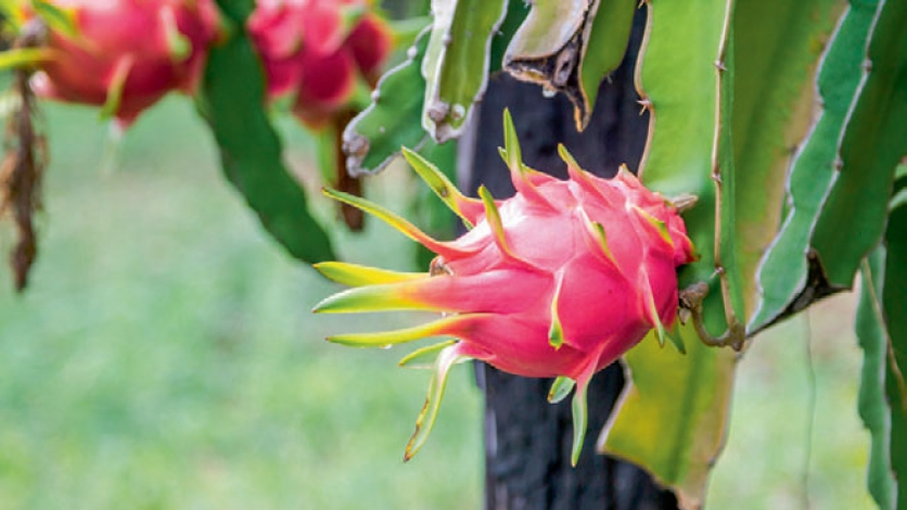 Dragonfruit in garden