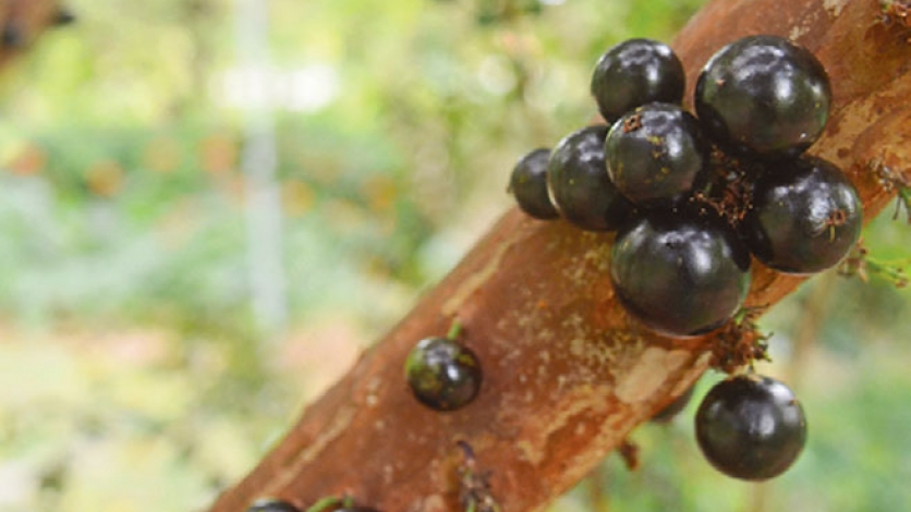 Jaboticaba for the plucking at The Kampong