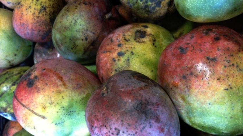 Florida mangos