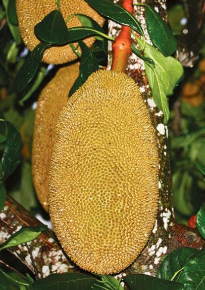 Growing Tropical Fruit In Your Garden