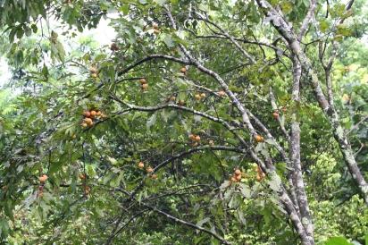 American persimmon 'Gurthrie'