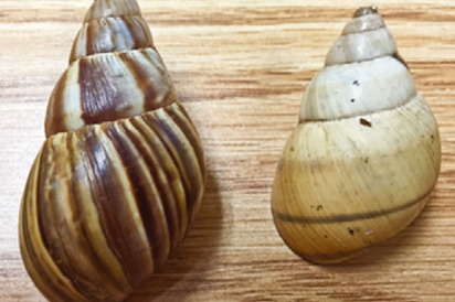 Giant African Tree Snail and a tree snail