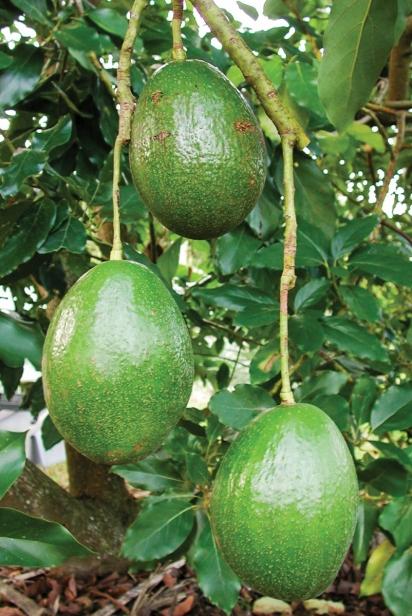 Choquette avocado