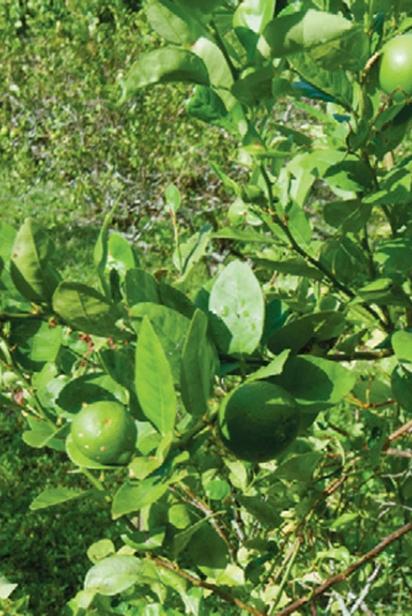 Florida Key Limes