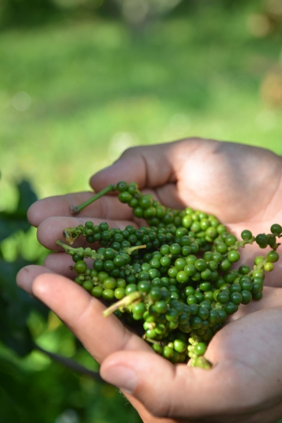 Levi holds freshly harvested peppercorns
