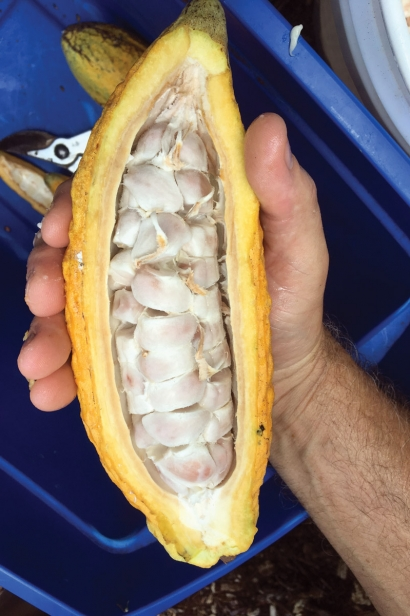 Fleshy pulp covers cacao beans