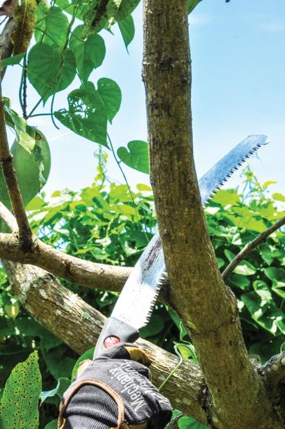 Pruning a mango