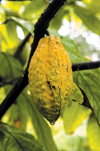 Ripe cacao pod
