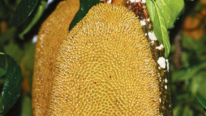 Jackfruit in home garden in South Florida