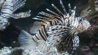 Lionfish in South Florida waters